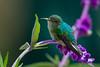 A female Scintillant Hummingbird (Selasphorus scintilla) at San Gerardo de Dota, Costa Rica, September 2015. [Selasphorus scintilla 019 SanGerardoDeDota-CostaRica 2015-09]