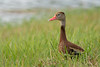 Black-bellied Whistling-Duck (Dendrocygna autumnalis) at Harns Marsh in Fort Myers, Florida, August 2017. [Dendrocygna autumnalis 001 FortMyers-FL-USA 2017-08]