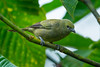 Palm Tanager (Thraupis palmarum) from Tortuguero, Costa Rica, September 2015. [Thraupis palmarum 008 Tortuguero-CostaRica 2015-09]