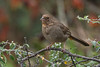 California Towhee (Melozone crissalis) at the Fullerton Arboretum, California, June 2015. [Melozone crissalis 001 FullertonAbtm-CA-USA 2015-06]