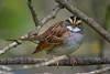 White-throated Sparrow (Zonotrichia albicollis) in a small patch of urban riparian forest in Arcata, Humboldt County, California, April 2015. [Zonotrichia albicollis 016 Arcata-CA-USA 2015-04]