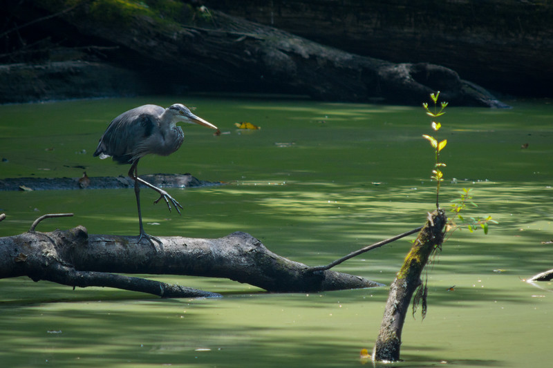 Great Blue Heron (Ardea herodias) hunting in a forest stream at Audubon's Francis Beidler Forest in South Carolina, August 2015. [Ardea herodias 004 FrancisBeidlerForest-SC-USA 2015-08]