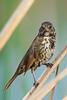 Fox Sparrow (Passerella iliaca) at Yolo Bypass, Sacramento, California, February 2016. [Passerella iliaca 011 Sacramento-CA-USA 2016-02]