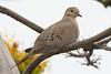 Mourning Dove (Zenaida macroura) at the Fullerton Arboretum, southern California, June 2015. [Zenaida macroura 007 FullertonAbrtm-CA-USA 2015-06]