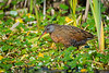 A Virginia Rail (Rallus limicola) at the Humboldt Bay National Wildlife Refuge, California, April 2017. [Rallus limicola 002 HBNWR-CA-USA 2017-04]