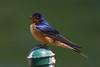 Barn Swallow (Hirundo rustica) at Frank G. Bonelli Park in Southern California, June 2015. [Hirundo rustica 009 FrankBonelli-CA-USA 2015-06]