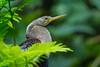 A female American Darter or Snakebird (Anhinga anhinga) at Tortuguero, Costa Rica, September 2015. [Anhinga anhinga 003 Tortuguero-CostaRica 2015-09]