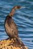 Pelagic Cormorant (Phalacrocorax pelagicus) at North Jetty, Humboldt Bay, California, December 2014. [Phalacrocorax pelagicus 007 Humboldt-CA-USA 2014-12]