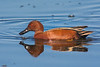 Male Cinnamon Teal (Anas cyanoptera) at the Arcata Marsh, Humboldt County, California, March, 2015. [Anas cyanoptera 002 Humboldt-CA-USA 2015-03]