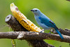Blue-gray Tanager (Thraupis episcopus) at San Gerardo De Dota, Costa Rica, September 2015. [Thraupis episcopus 001 SanGerardoDeDota-CostaRica 2015-09]