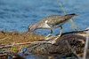 Spotted Sandpiper (Actitis macularius) at Gristmill River Access in Sacramento, February 2016. [Actitis macularius 012 Sacramento-CA-USA 2016-02]