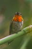 Rufous Hummingbird (Selasphorus rufus) at the Fullerton Arboretum, June 2015. [Selasphorus rufus 046 FullertonAbrtm-CA-USA 2015-06]