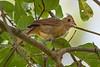 A juvenile female Northern Cardinal (Cardinalis cardinalis) in Columbia, South Carolina, USA, August 2015. [Cardinalis cardinalis 007 Columbia-SC-USA 2015-08]