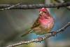 Banded male Purple Finch (Haemorhous purpureus), used to be (Carpodacus purpureus),  in a suburban riparian area of Arcata, Humboldt County, California, April 2015. [Haemorhous purpureus 001 Arcata-CA-USA 2015-04]
