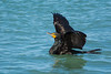 Double-crested Cormorant (Phalacrocorax auritus) at North Jetty, Humboldt County, March 2016. [Phalacrocorax auritus 034 Humboldt-CA-USA 2016-03]