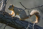 Fox Squirrel (Sciurus niger), a native of eastern North America,  has become an invasive pest in parts of California, including here at Gristmill in Sacramento, February 2016. [Sciurus niger ...