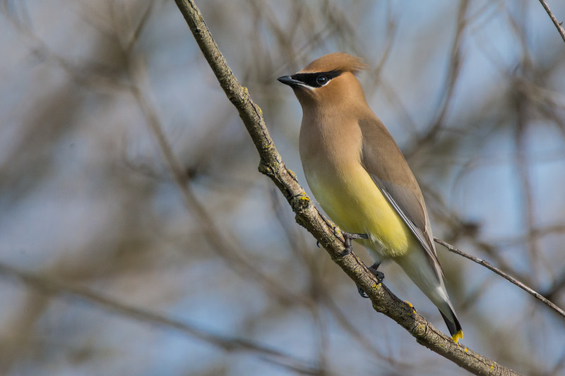 Cedar Waxwing (Bombycilla cedrorum) at Yolo Bypass Interpretive Center, near Sacramento, California, February 2016. [Bombycilla cedrorum 001 Yolo-CA-USA 2016-02]