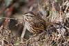 A Song Sparrow (Melospiza melodia) at the Blue Lake Fish Hatchery, Humboldt County, California, January 2016. [Melospiza melodia 019 Humboldt-CA-USA 2016-01]