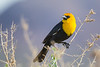 A male Yellow-headed Blackbird (Xanthocephalus xanthocephalus) at Henderson Bird Viewing Preserve in Las Vegas, Nevada, April 2017. [Xanthocephalus xanthocephalus 020 HBVP-NV-USA 2017-04]