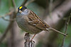Golden-crowned Sparrow (Zonotrichia atricapilla) in an urban riparian patch of forest in Arcata, Humboldt County, California, April 2015. [Zonotrichia atricapilla 026 Arcata-CA-USA 2015-04]
