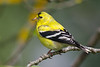 Young male American Goldfinch (Spinus tristis) in riparian habitat in Arcata, Humboldt County, California, April 2014. [Spinus tristis 001 Arcata-CA-USA 2015-04]