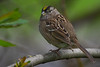 Golden-crowned Sparrow (Zonotrichia atricapilla) in an urban riparian patch of forest in Arcata, Humboldt County, California, April 2015. [Zonotrichia atricapilla 029 Arcata-CA-USA 2015-04]