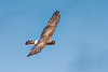 A Northern Harrier (Circus cyaneus) glides over Arcata Marsh, northern California, March 2015. [Circus cyaneus 004 ArcataMarsh-CA-USA 2015-03]