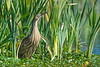 An American Bittern (Botaurus lentiginosus) foraging at the Humboldt Bay National Wildlife Refuge just south of Eureka, California, April 2017. [Botaurus lentiginosus 011 HBNWR-CA-USA 2017-04]
