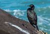 A Pelagic Cormorant (Phalacrocorax pelagicus) at North Jetty, Eureka, California, March 2016. [Phalacrocorax pelagicus 013 Humboldt-CA-USA 2016-03]