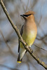 Cedar Waxwing (Bombycilla cedrorum) at Yolo Bypass Interpretive Center, near Sacramento, California, February 2016. [Bombycilla cedrorum 002 Yolo-CA-USA 2016-02]