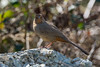 California Towhee (Melozone crissalis) at Berkeley, California, February 2016. [Melozone crissalis 014 Berkeley-CA-USA 2016-02]