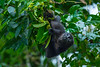 A Mantled Howler Monkey (Alouatta palliata palliata) at Tortuguero, Costa Rica, September 2015. [Alouatta palliata palliata 001 Tortuguero-CostaRica 2015-09]