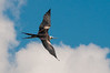 Magnificent Frigatebird (Fregata magnificens) at Celestun, Yucatan, Mexico, August 2011. [Fregata magnificens 001 Celestun-Mexico 2011-08]