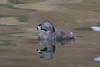 Pied-billed Grebe (Podilymbus podiceps) at Frank G. Bonelli Park, southern California, June 2015. [Podilymbus podiceps 018 FrankBonelliPk-CA-USA 2015-06]