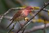 Male Purple Finch (Haemorhous purpureus), used to be (Carpodacus purpureus),  in a suburban riparian area of Arcata, Humboldt County, California, April 2015. [Haemorhous purpureus 008 Arcata-CA-USA 2015-04]