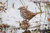 A Song Sparrow (Melospiza melodia) at Centerville Wildlife Reserve, Humboldt County, California, February 2014. [Melospiza melodia 006 Humboldt-CA-USA 2014-02]