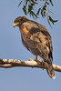 Harris's Hawk (Parabuteo unicinctus) at Casa Grande, Arizona, January 2015. [Parabuteo unicinctus 001 CasaGrande-AZ-USA 2015-01]