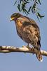 Harris's Hawk (Parabuteo unicinctus) at Casa Grande, Arizona, January 2015. [Parabuteo unicinctus 001 CasaGrande-AZ-USA 2015-01]