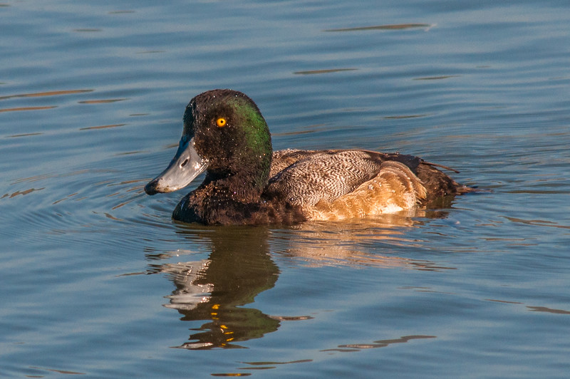 A Greater Scaup (Aythya marila) at Arcata Marsh, Humboldt County, California, January 2014. [Aythya marila 001 Humboldt-CA-USA 2014-01]