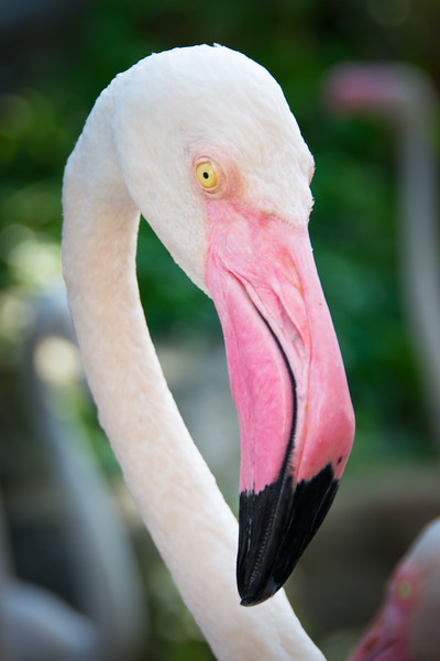 A spectacular Amercian Flamingo (Phoenicopterus ruber), photographed at Chiang Mai Zoo, Thailand, November 2014. [Phoenicopterus ruber 014 ChiangMaiZoo-Thailand 2014-11]