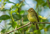 A Pacific-slope Flycatcher (Empidonax difficilis) at the Humboldt Bay National Wildlife Refuge, April 2016. [Empidonax difficilis 013 HBNWR-CA-USA 2016-04]