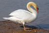 A Mute Swan (Cygnus olor) at Lake Shasta, northern California, July 2008. [Cygnus olor 004 Shasta-CA-USA 2008-07]