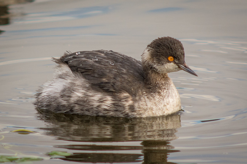 First fall Eared Grebe or Black-necked Grebe (Podiceps nigricollis) at Arcata Marsh, Humboldt County, California, December 2014. [Podiceps nigricollis 005 ArcataMarsh-CA-USA 2014-12]