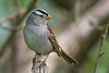 White-crowned Sparrow (Zonotrichia leucophrys) in an urban riparian garden in Arcata, Humboldt County, California, April 2015. [Zonotrichia leucophrys 019 Arcata-CA-USA 2015-04]