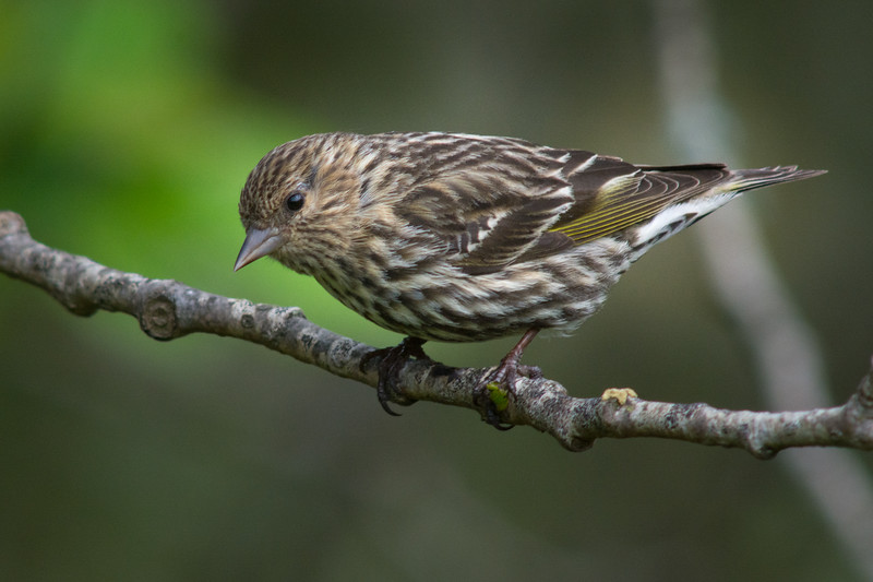 Pine Siskin (Spinus pinus) in an urban riparian part of Arcata, Humboldt County, California, April 2015. [Spinus pinus 003 Arcata-CA-USA 2015-04]