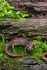 Adult Northwestern Salamander (Ambystoma gracile) in Eureka, Humboldt County, California, March 2016. [Ambystoma gracile 024 Humboldt-CA-USA 2016-03]