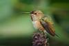 Rufous Hummingbird (Selasphorus rufus) at the Fullerton Arboretum, June 2015. [Selasphorus rufus 022 FullertonAbrtm-CA-USA 2015-06]