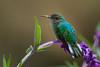 A female Scintillant Hummingbird (Selasphorus scintilla) at San Gerardo de Dota, Costa Rica, September 2015. [Selasphorus scintilla 001 SanGerardoDeDota-CostaRica 2015-09]