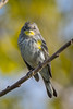 An Audubon's Warbler (Setophaga coronata auduboni), a type of Yellow-rumped Warbler, at the Yolo Bypass Information Center near Davis, California, February 2016. [Setophaga coronata auduboni 014 Yolo-CA-USA 2016-02]