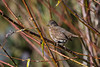 Fox Sparrow (Passerella iliaca) at the Blue Lake Fish Hatchery, Humboldt County, California, January 2016. [Passerella iliaca 004 Humboldt-CA-USA 2016-01]